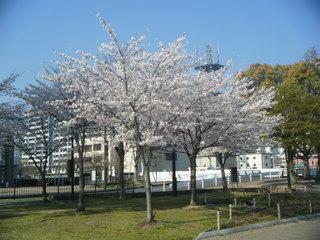 sakura!.JPG